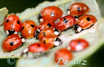 Lady bugs1