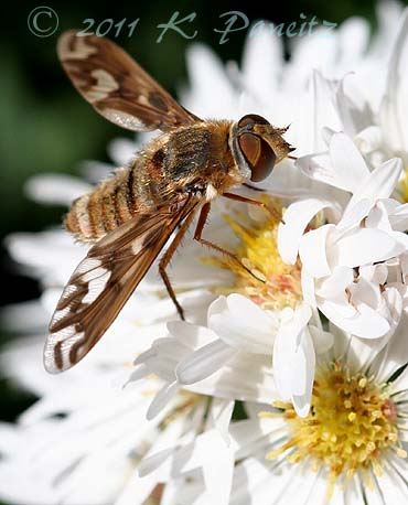 Tachinid Fly on Asters1