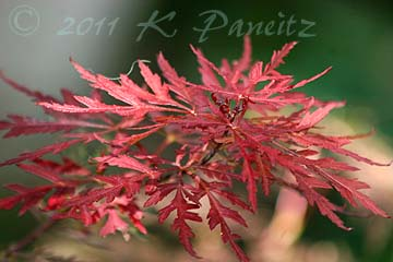 Japanese Maple 'Red Dragon'