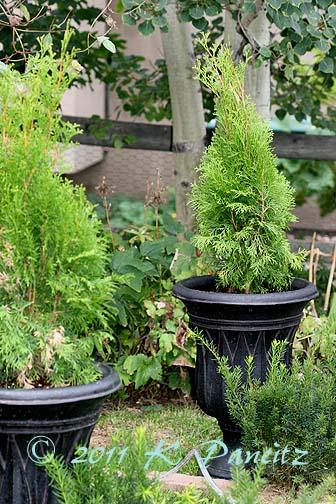 Black Arborvitae urns