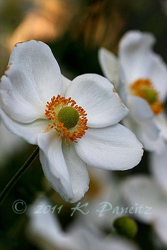 Anemone blooms