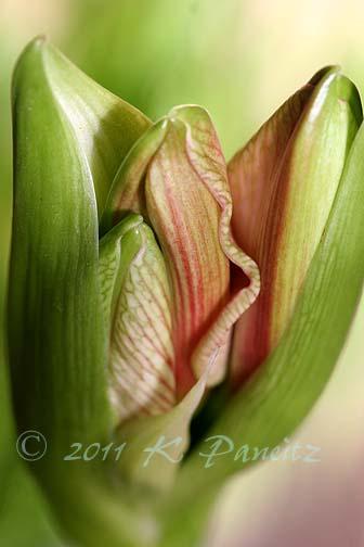 Amaryllis 'Blushing Bride' buds