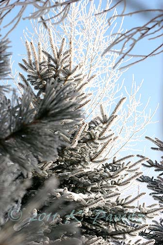 Frosted trees1