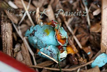 Smashed robin egg