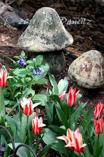 Greggi Tulip 'Tsar Peter1'