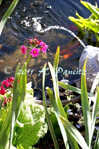 Primula japonica 'Miller's Crimson2'