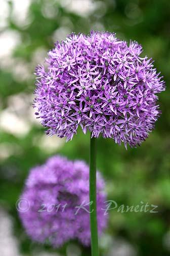 Allium blooms3