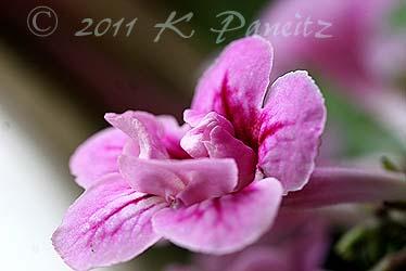 Streptocarpus 'Double Pink'