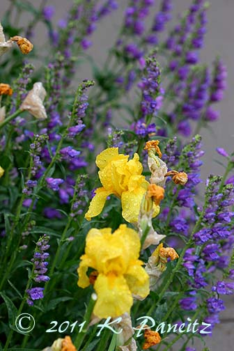 Penstemon Strictus & Yellow Iris