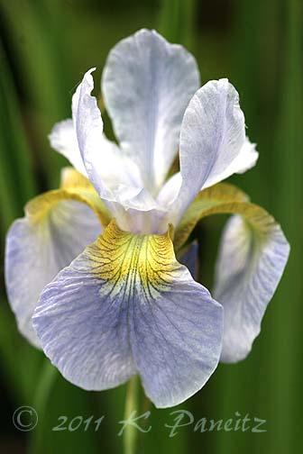 Siberian Iris 'Sky Wings'