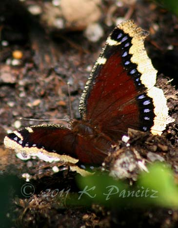 Mourning Cloak1