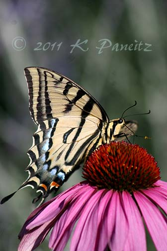 Western Tiger Swallowtail on Coneflower
