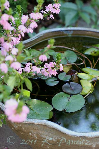 Water Lily container