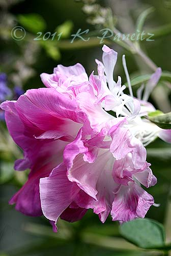 Morning Glory 'Pink Feathers1'