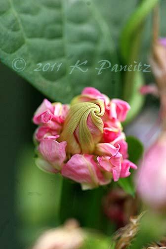 Morning Glory 'Pink Feathers' bud1