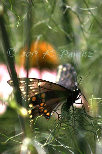 Black Swallowtail on Bronze Fennel1