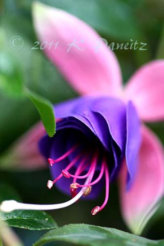 Fuchsia 'Lena Dalton'