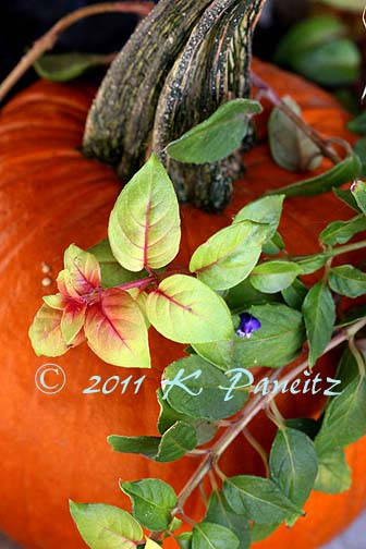 Pumpkin & Fuchsia 'Autumnale'