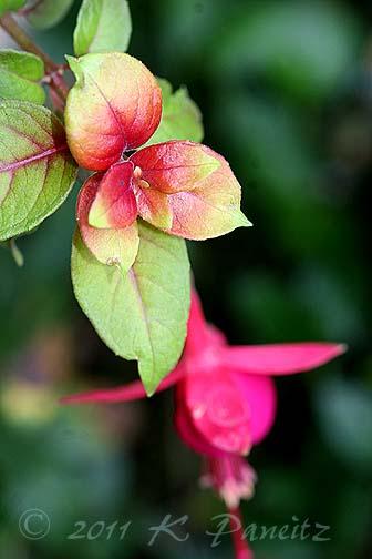 Fuchsia 'Autumnale1'