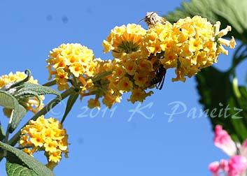 Buddleia 'Honeycomb'