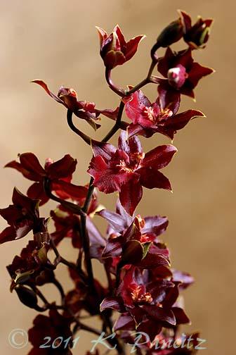 Oncidium Orchid 'Calm Rainbow9'