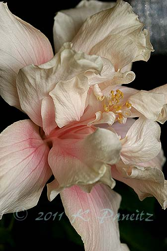 Hibiscus 'Powder Puff2'