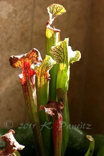 Sarracenia x 'Judith Hindle1'