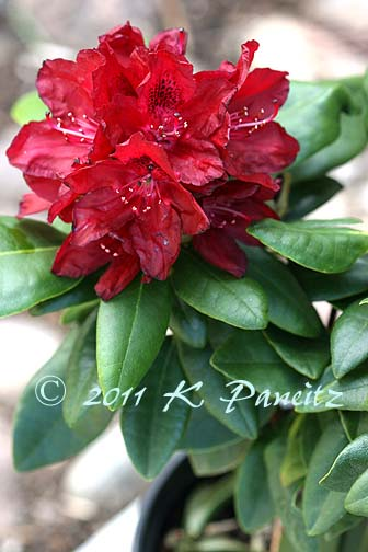 Rhodie Red