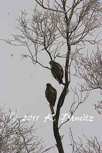 Red Tail Hawks1