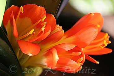 Clivia blooms1
