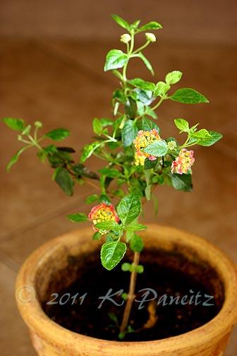 Lantana topiary