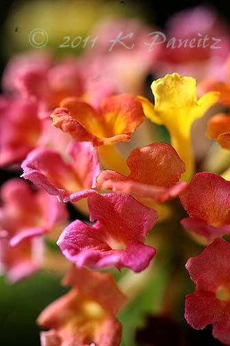 Lantana topiary bloom