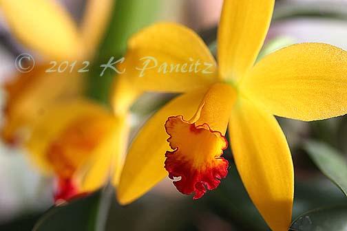 Orchid Alvin Beggman Poem