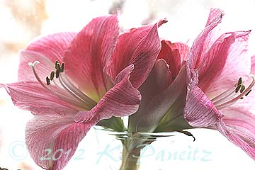 Amaryllis 'Blushing Bride1'