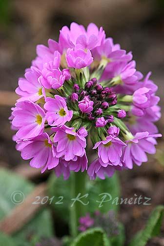 Pink Drumstick Primula