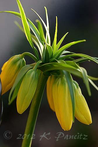 Fritillaria Imperialis 'Lutea' buds1