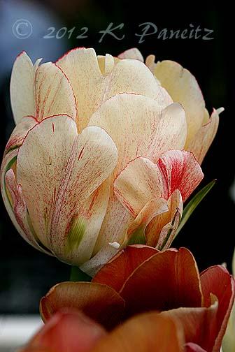 Tulip 'Gudoshnik'