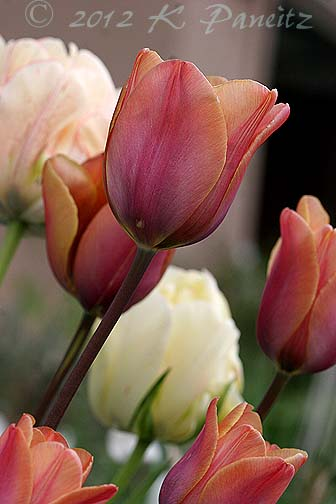 Tulip 'Indian Summer2'