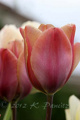 Tulip 'Indian Summer1'