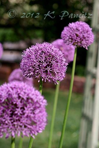 Alliums1