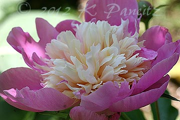 Peony 'Bowl of Beauty5'