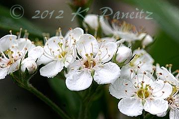 Hawthorne blooms