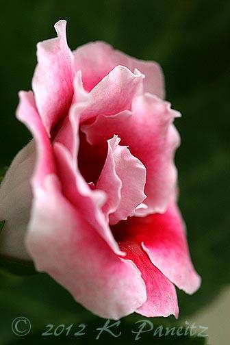 Gloxinia dbl pink