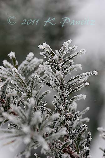Frosted Yew branches