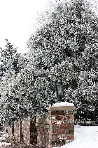Frosted evergreens