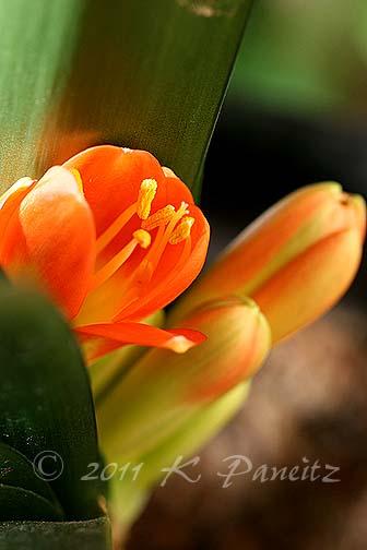 Clivia buds1