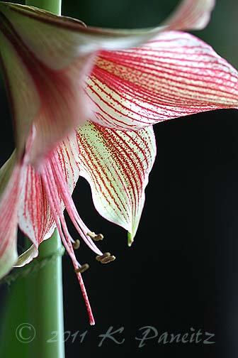 Amaryllis 'Exotic Star1'