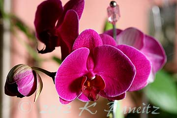 Pink Phal Orchid1