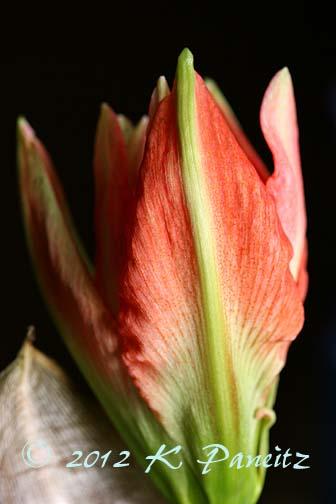 Amaryllis 'Lady Jane' bud1