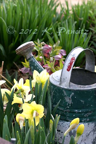 Daffodils &watering can1